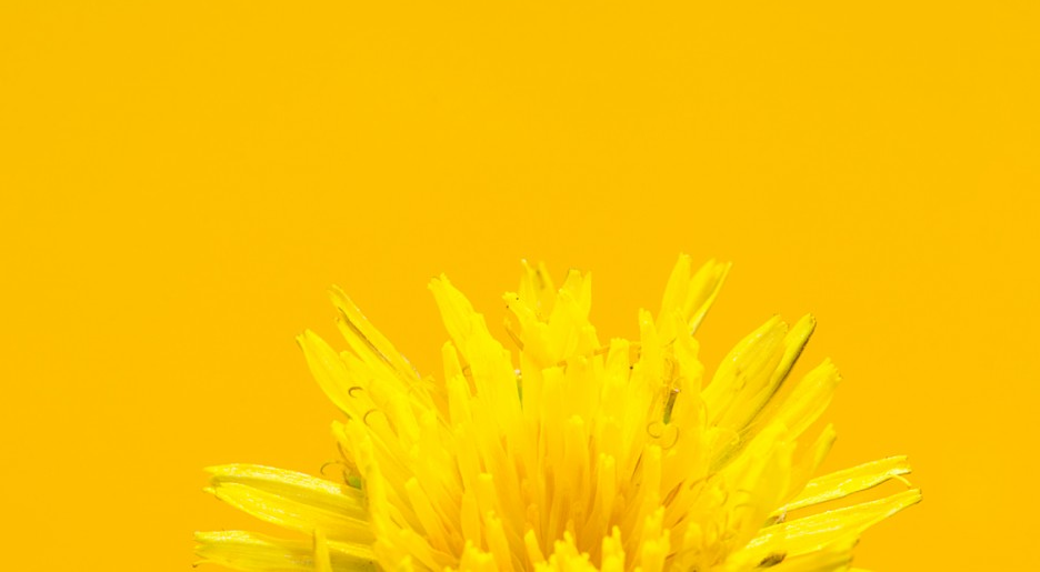 Macro dandilion indoor photography | San Antonio Texas